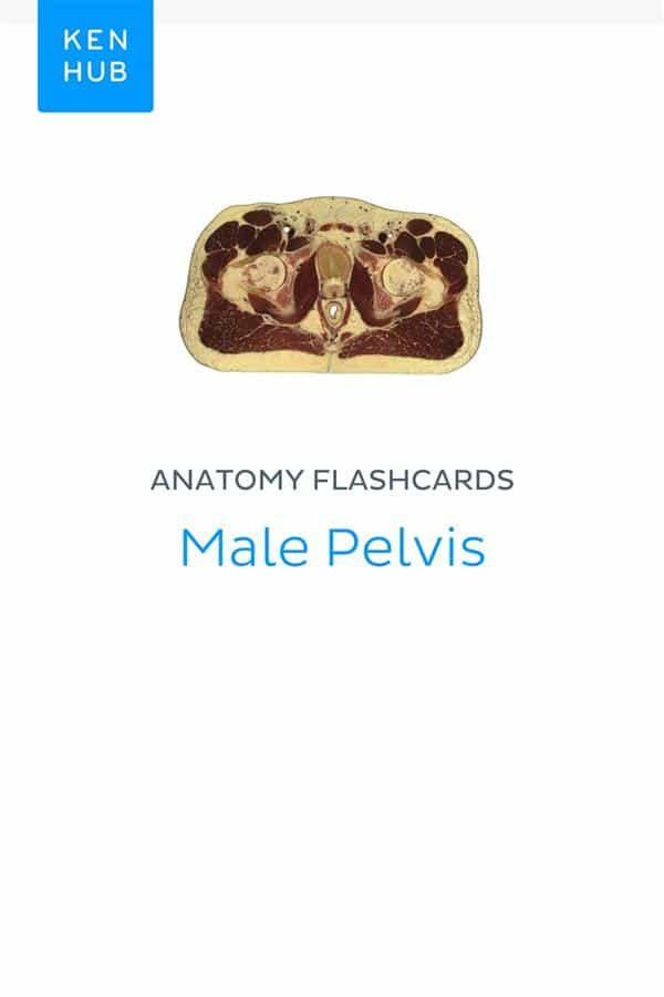 ANATOMY FLASHCARDS: MALE PELVIS EBOOK | | Descargar libro PDF o EPUB ...
